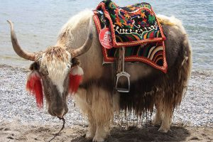 Where dows our yak hair come from?